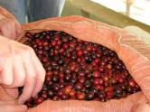 Ripe cherries