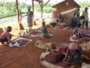 KENYA SORTING - A COOPERATIVE EFFORT!
